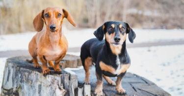 hérnia discal dachshund