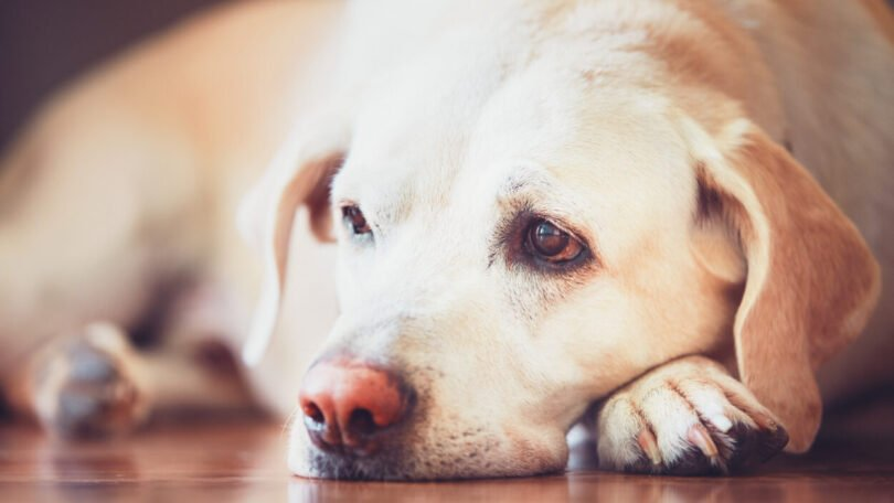 estudo sobre doenças mais frequentes em cães