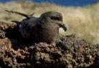 ave Açores