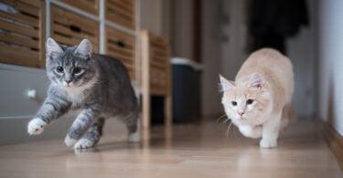 Guia de fases da vida felina da AAHA e da AAFP tem nova versão