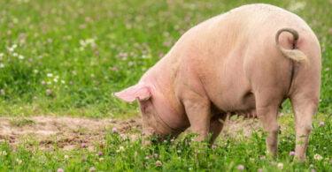 Descobertas sobre gripe suína podem ajudar nos tratamentos humanos