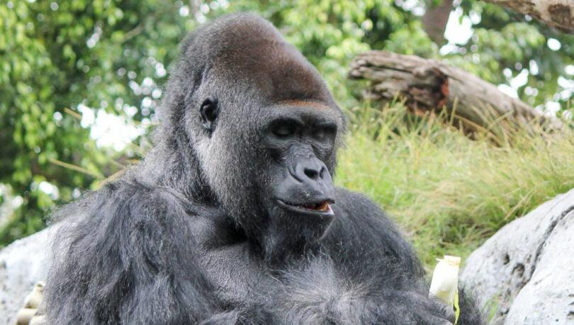 Zoos apostam em vacina para proteger animais