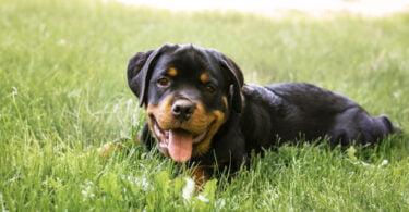 Tamanho e formato do corpo do cão podem indicar maior risco de tumor ósseo