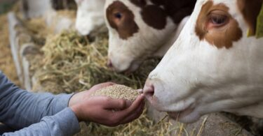 Face à covid-19, algumas organizações têm advogado por uma revisão das normas europeias de bem-estar dos animais de produção.