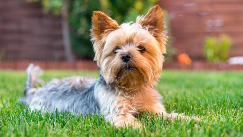 A Royal Canin revela que estudos recentes sobre a população de animais mostram que cães de pequeno porte possuem cada vez mais relevância.