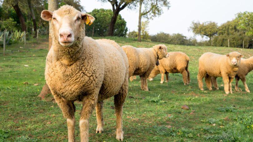 Portugal está suspenso temporariamente de exportar animais vivos para Israel, anunciou a Direção-Geral de Agricultura e Veterinária (DGAV).