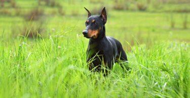 58% dos médicos veterinários britânicos têm relatado ter visto mais cães com orelhas cortadas nas suas consultas no último ano.