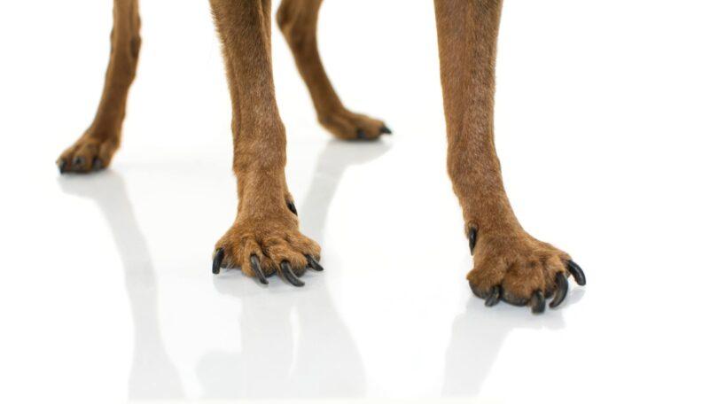 A Elanco realçou a importância da deteção e da gestão da osteoartrite canina desde as fases iniciais.