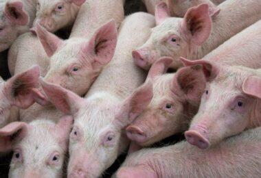 A Organização Mundial da Saúde Animal (OIE) quer identificar oportunidades de colaboração para controlar a peste suína africana.