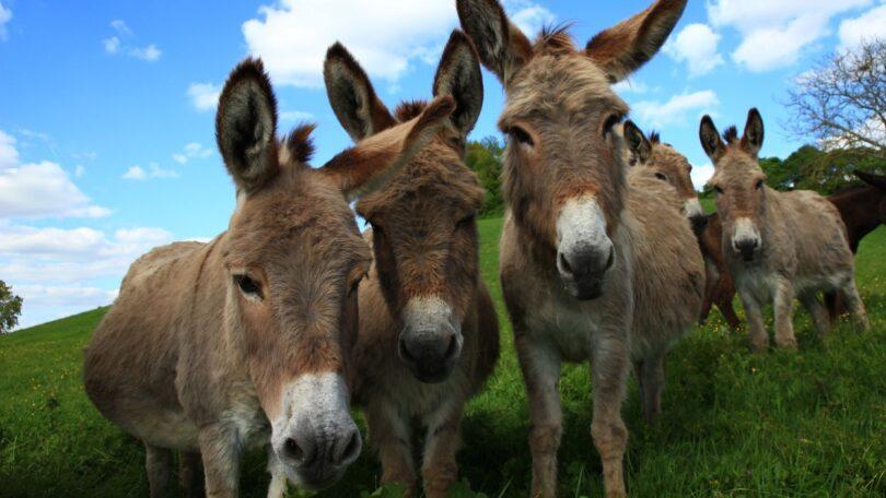 """A plataforma de informação IVISdisponibilizou um novo capítulo do livro """"The Clinical Companion of Donkey Dentistry""""."""