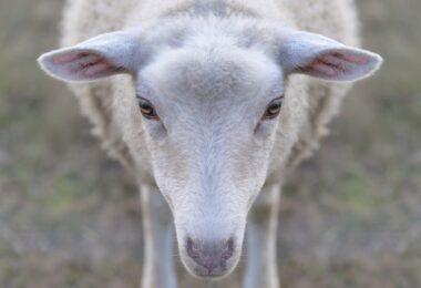 As autoridades desmantelaram um espaço ao ar livre que funcionava para abate ilegal de animais para consumo humano, no concelho de Loures.