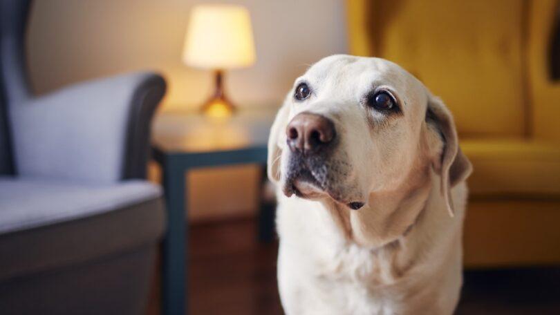 O novo estudo da Royal Veterinary College (RVC) revelou que a artrite é a doença com a maior taxa de risco para os labradores retrievers.