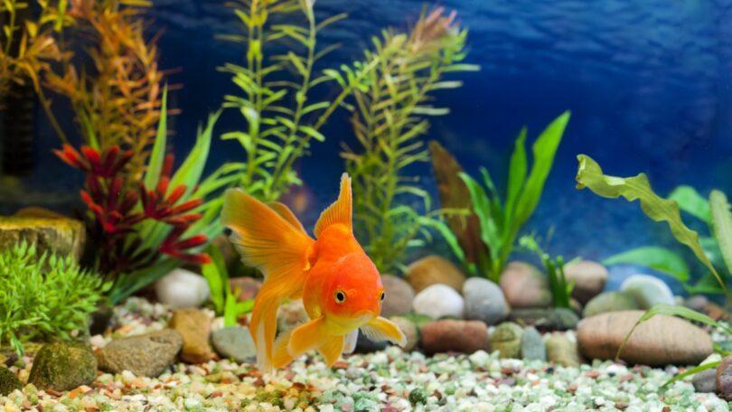 A cidade norte-americana Burnsville, no estado de Minnesota, pediu aos residentes para não abandonarem peixes dourados nas águas públicas.