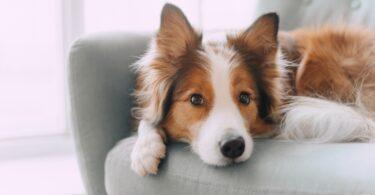 cão-padrão-cor-pelugem