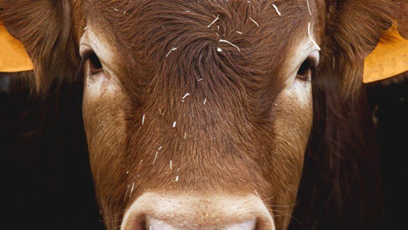 bovinos pedidos patente