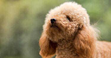 As raças Poodle Toy, King Charles Spanien, galgo inglês e Cavalier King Charles Spanien são as que possuem maior risco de doenças dentárias.